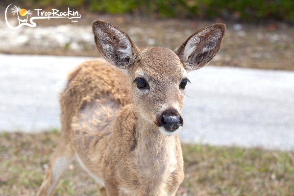 Florida-keys-key-deer-big-pine-key